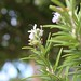 Rosemary by james_berriman_photography