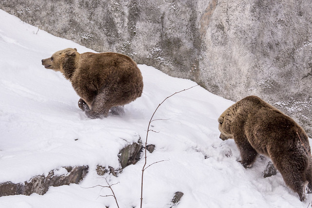 Brown bears first day out after hibernation - running around!