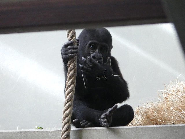 Gorilla, Wilhelma