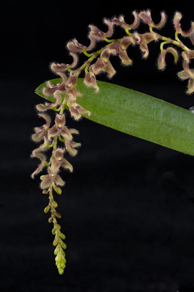 Miniatur-Orchideen Teil 3 - Seite 4 24489023689_d216d8a68e_b