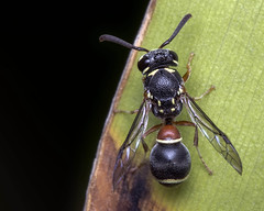 Leptochilus potter wasp