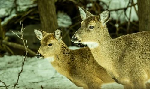 winter brown white snow mi river pair coat daughter mother son deer mammals snout starring fernridge rapidriver february2016