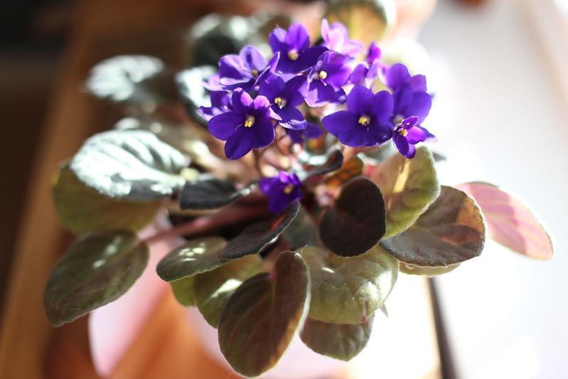 c's african violets