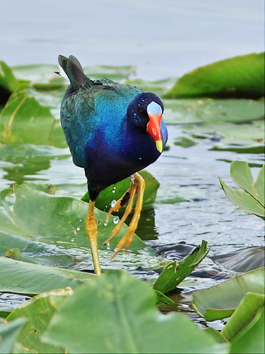 Purple Gallinule 05-20160221