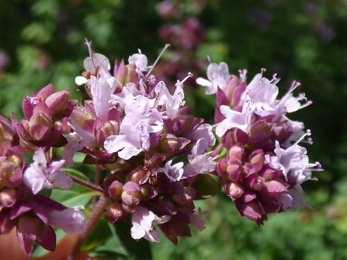 starr-150708-0275-Origanum_majorana-flowers-Hawea_Pl_Olinda-Maui