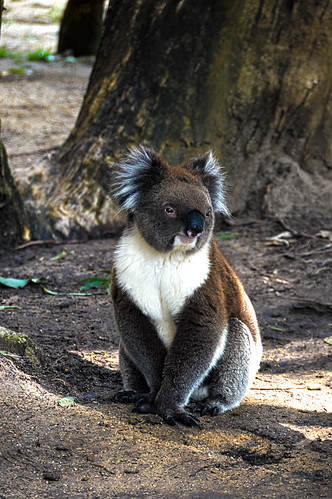 Koala Pose