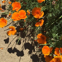 Poppy time #californiapoppies #signsofspring #nofilter