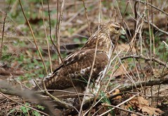 Red Tail Hawk at Chagrin River Park
