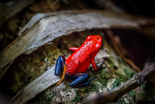 costarica centroamérica strawberrypoisondartfrog oophagapumilio erdbeerfröschchen bluejeansfrosch