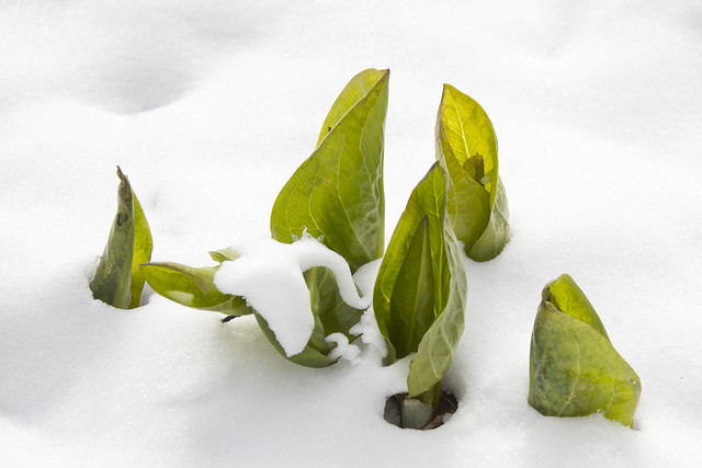 IMG_7436-Skunk Cabbage