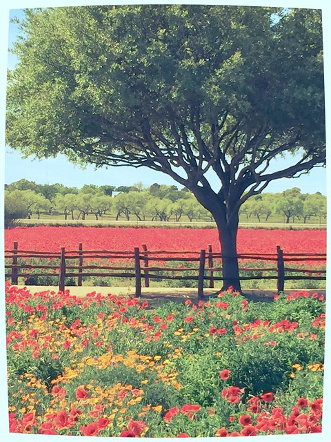 Texas Wildflowers Red Poppies Poppy Flowers Spring 720PNE