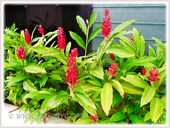 Alpinia purpurata (Red Ginger, Jungle King, Ostrich Plume) in a raised concrete planter, Nov 10 2015