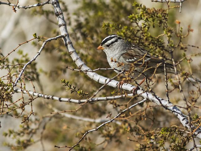 White-Crowned Sparrow 22_7D2_140116