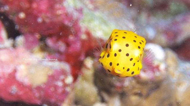 ミナミハコフグ幼魚、なんか目つき悪いw