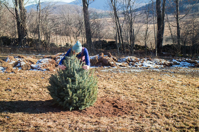 Planting Our Christmas Tree_14