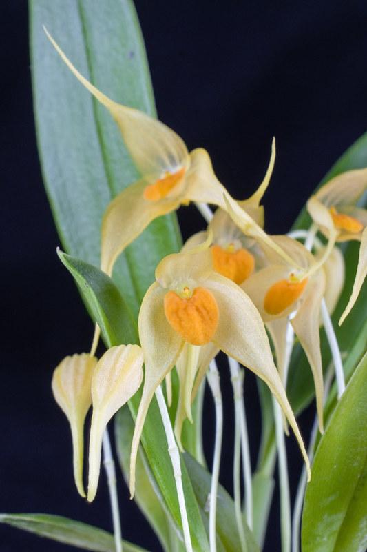 Bulbophyllum ankylochele 24371323252_1478b3c81d_c