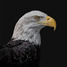 Old Bald Eagle by Darryl Robertson
