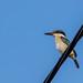 Sacred Kingfisher by Peta Jade