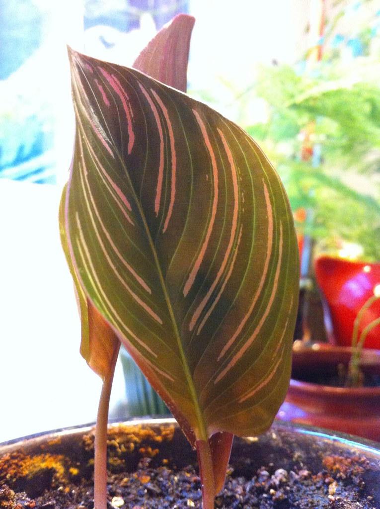 pink stripes leaf