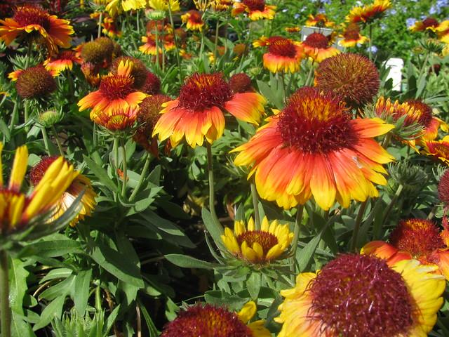 starr-120613-9624-Gaillardia_aristata-flowers-Home_Depot_Nursery_Kahului-Maui