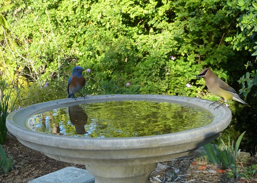 Western Bluebird and Cedar Waxwing
