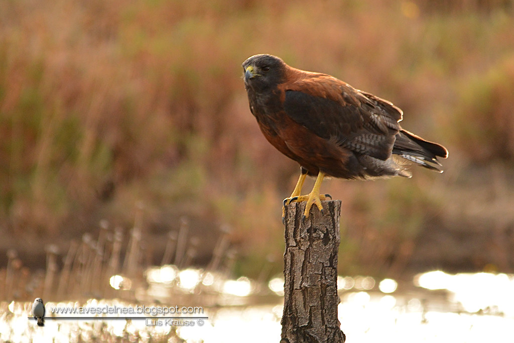 Aguilucho común ( Red-backed Hawk) Geranoaetus polyosoma