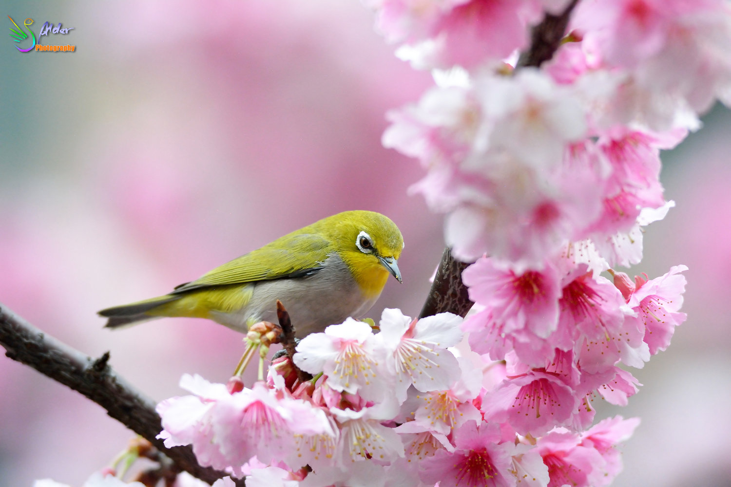Sakura_White-eye_7179