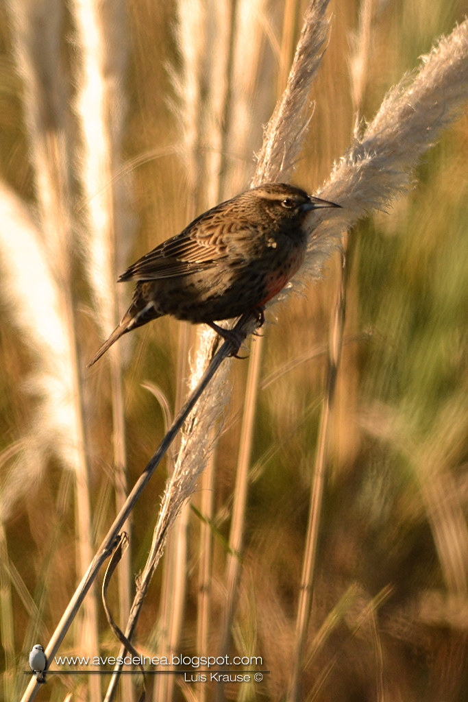 Loica común (Long-tailed Meadowlark) Sturnella loyca