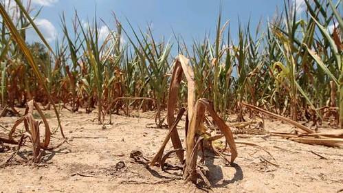 तीव्र सूखे का कृषि पर प्रभाव