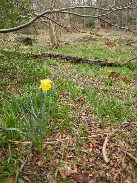 Daffodil in the wood