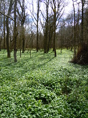 Acres of Wild Garlic