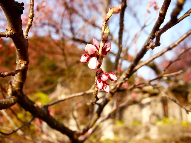 2016.3.31 開花
