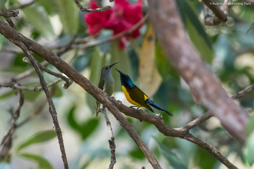 Green-tailed Sunbirds