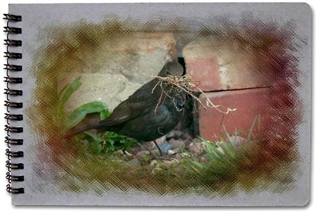 Blackbird Nesting Material