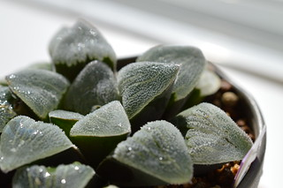 DSC_0539 Haworthia pygmaea f. variegata  ハオルチア ピグマエア