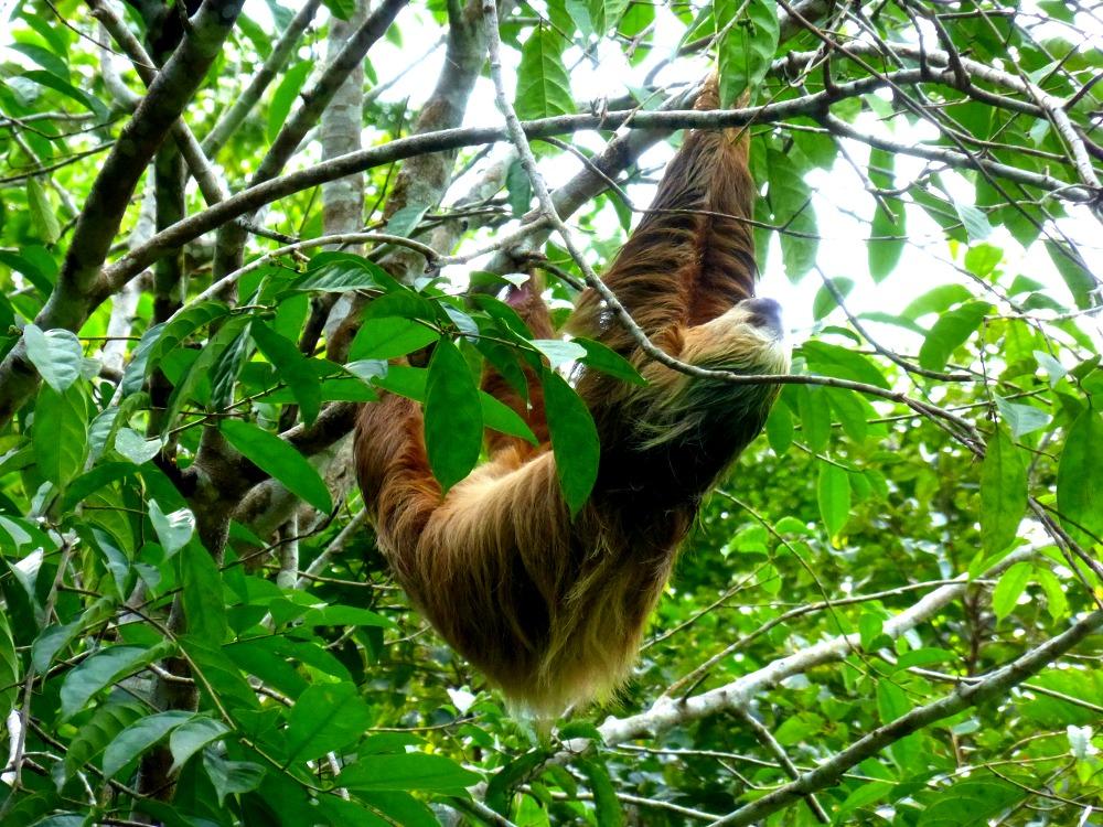 Puerto Viejo Sloth