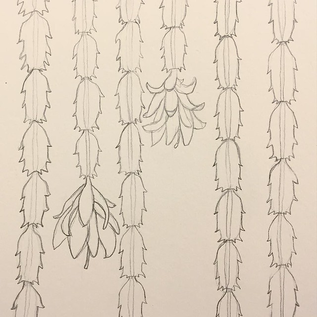 #patternjanuary day 21: #cactus My Christmas cactus (which I just found out is probably actually a Thanksgiving cactus) is in bloom, so I decided to make it into a pattern. I might revisit it later and add color
