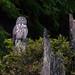 Great Gray Owl by E_Rick1502