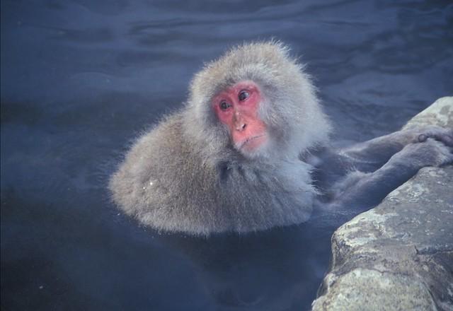 Wild monkey in onsen bath in Jigokudani, Nagano