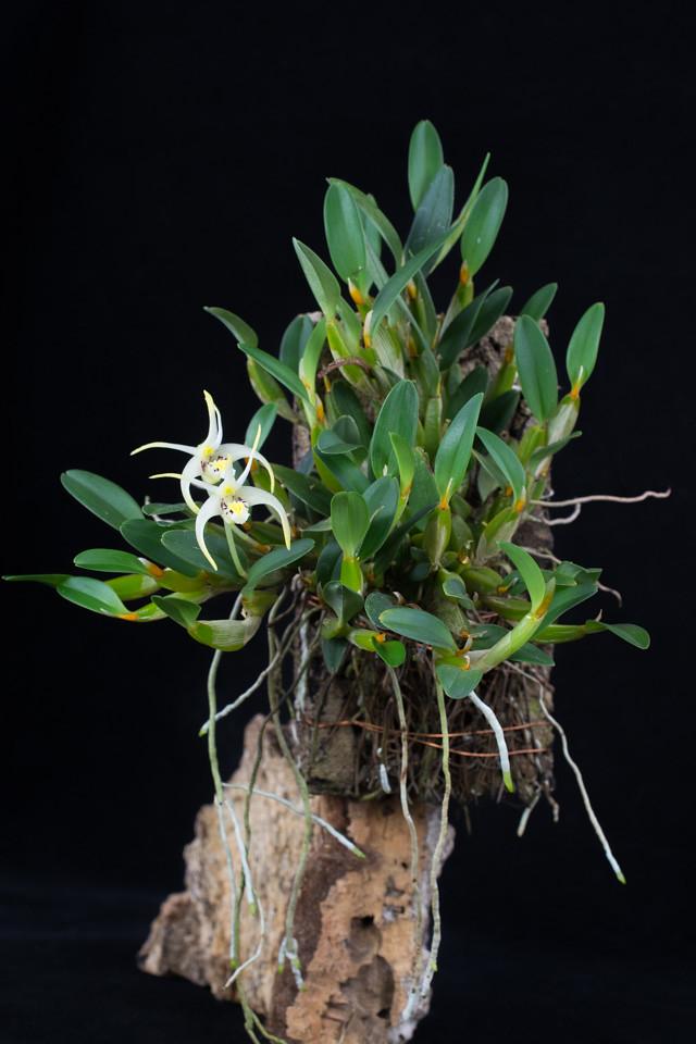 Miniatur-Orchideen Teil 3 - Seite 4 24610851983_4fd7a4a6df_b