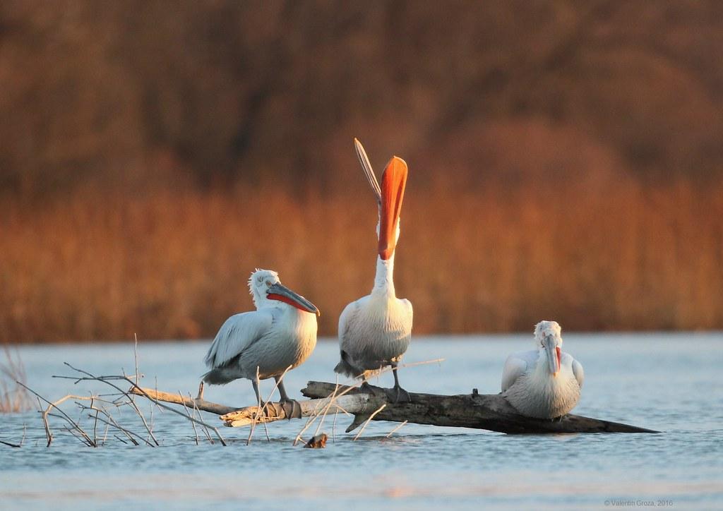 03_pelican cascand