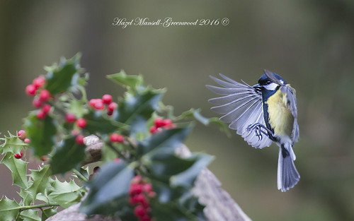 Great tit and holly