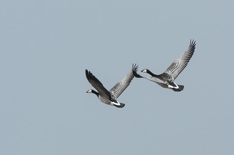 Silverwings