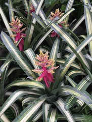Bromeliads at NYBG Orchid Show 2016