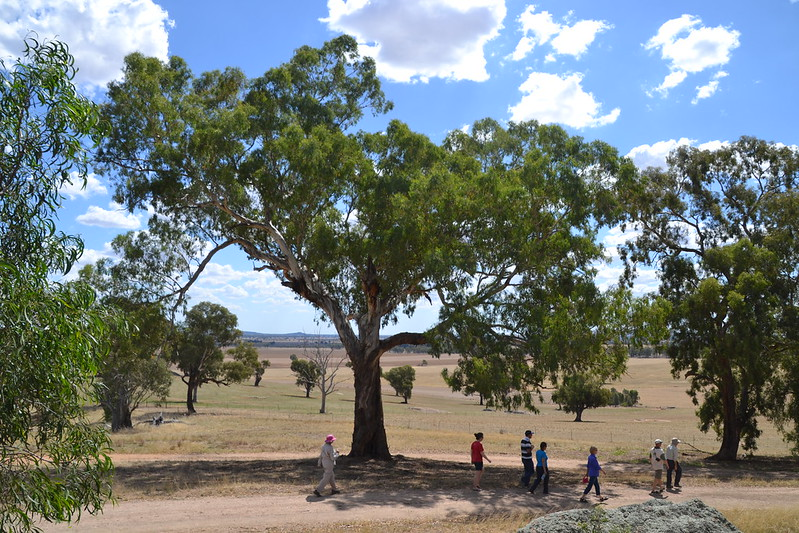 Mature yellow box tree at Morgans lookout