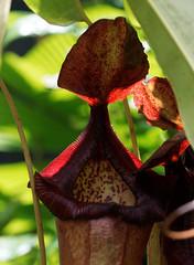 Carnivorous Plant 1