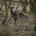 Pair of Deer Cannock Chase