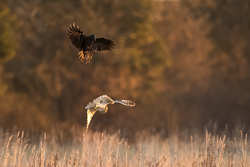 Short Eared Owl being attacked by a Crow