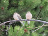 Feathered couple hanging out in West Kelowna, BC