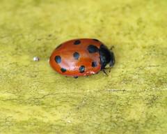 11-spot Ladybird - Coccinella undecimpunctata